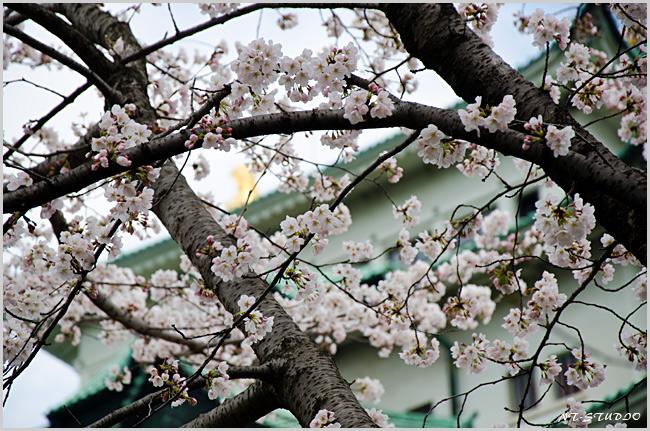 名古屋城 桜