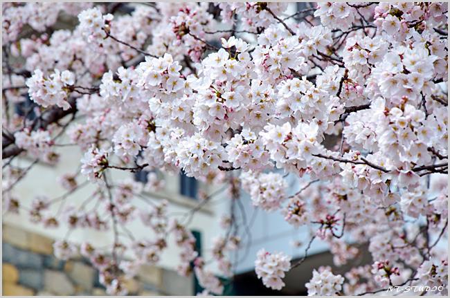 名古屋城 桜祭り