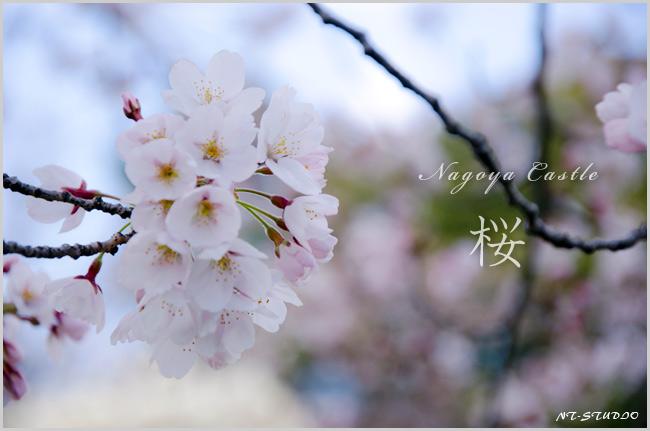 名古屋城の桜は満開でした!
